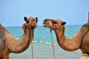 talking-camels-on-beach